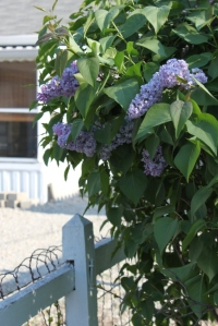 Lilacs and the fence